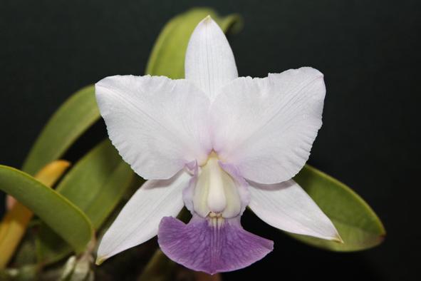 Cattleya walkeriana coerulea (395 #01)  - Orquídeas Terra