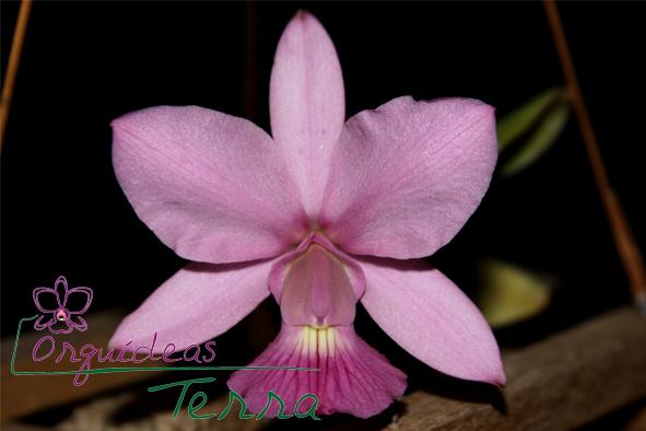 Cattleya walkeriana vinicolor Canela TE  - Orquídeas Terra