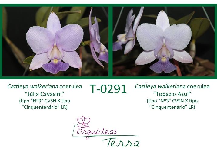 Cattleya walkeriana coerulea Júlia Cavasini X Cattleya walkeriana coerulea Topázio Azul  - Orquídeas Terra