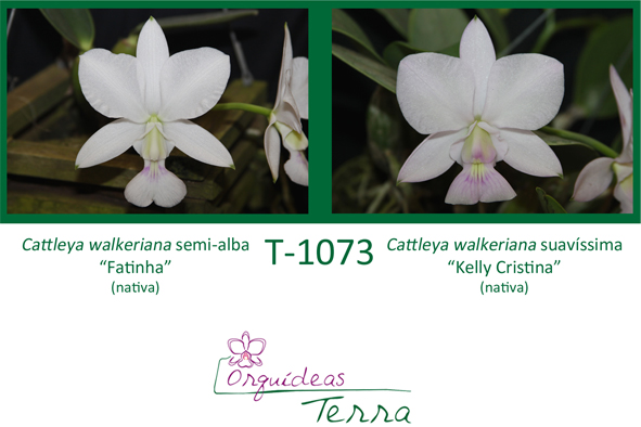 Cattleya walkeriana semi-alba Fatinha X Cattleya walkeriana suavíssima Kelly Cristina  - Orquídeas Terra