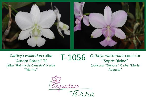 Cattleya walkeriana alba Aurora Boreal TE X Cattleya walkeriana concolor Sopro Divino  - Orquídeas Terra