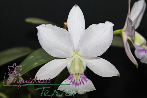 Cattleya walkeriana suavíssima Gravatinha  - Orquídeas Terra