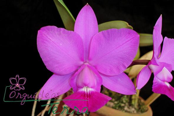 Cattleya walkeriana tipo Joel da Silveira  - Orquídeas Terra