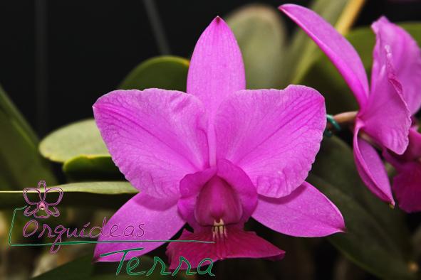 Cattleya walkeriana tipo flâmea Três Lagoas  - Orquídeas Terra