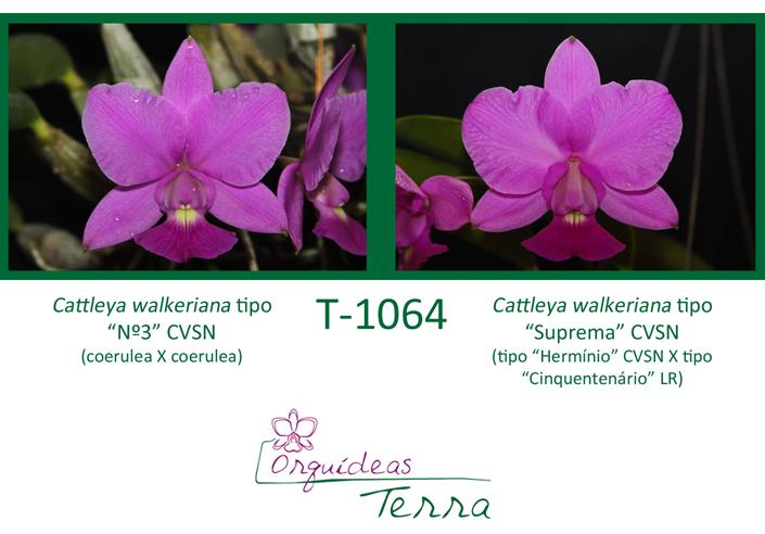 """Cattleya walkeriana tipo """"Nº3"""" CVSN X Cattleya walkeriana tipo """"Suprema"""" CVSN  - Orquídeas Terra"""