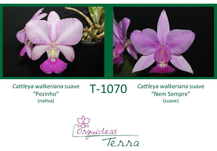 Cattleya walkeriana suave Pezinho X Cattleya walkeriana suave Nem Sempre  - Orquídeas Terra