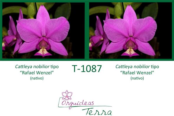 Cattleya nobilior tipo Rafael Wenzel X Cattleya nobilior tipo Rafael Wenzel  - Orquídeas Terra