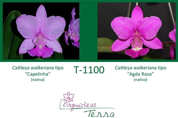Cattleya walkeriana tipo Capelinha X Cattleya walkeriana tipo Agda Rosa  - Orquídeas Terra
