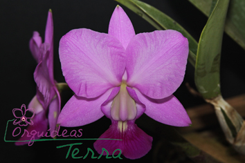 Cattleya walkeriana tipo Gigante do Cerrado TE  - Orquídeas Terra
