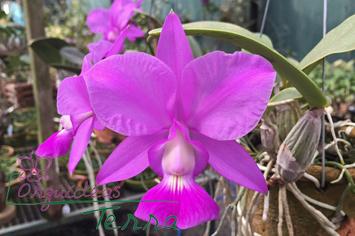 Cattleya walkeriana tipo (105 #01)  - Orquídeas Terra