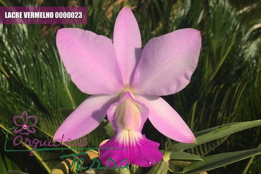Cattleya walkeriana suave   - Orquídeas Terra