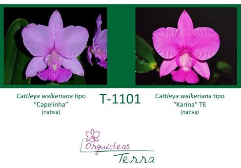 Cattleya walkeriana tipo Capelinha X Cattleya walkeriana tipo Karina TE  - Orquídeas Terra