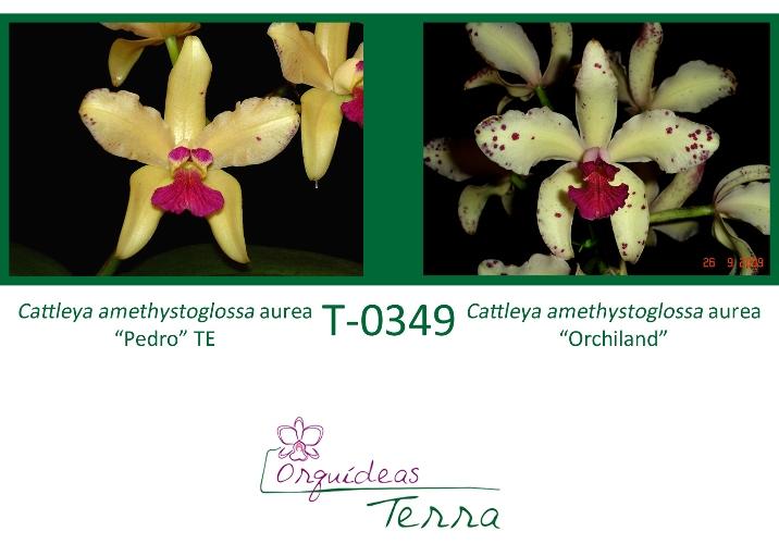 Cattleya amethystoglossa aurea Pedro X Cattleya amethystoglossa aurea Orchiland  - Orquídeas Terra