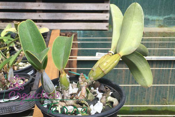 Cattleya nobilior alba Santa Cruz  - Orquídeas Terra