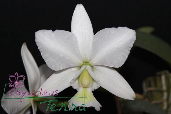 Cattleya nobilior albescens Schneewitchen  - Orquídeas Terra