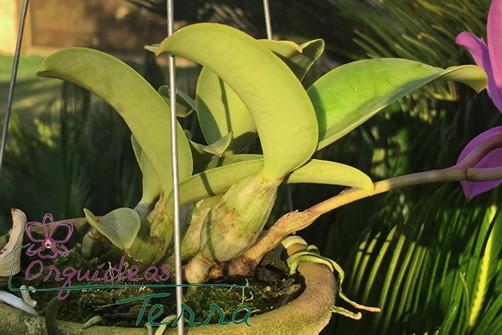 Cattleya nobilior tipo  - Orquídeas Terra