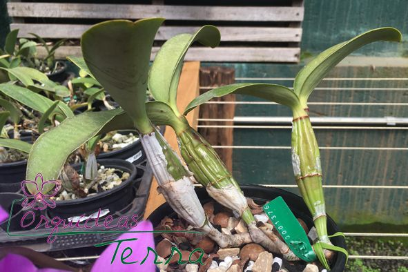 Cattleya nobilior tipo Amizade  - Orquídeas Terra