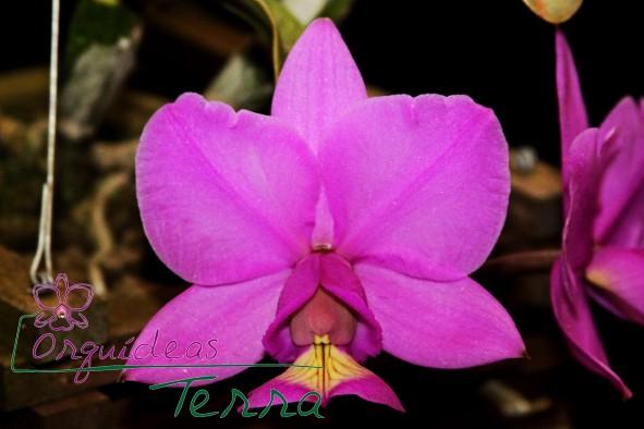 Cattleya nobilior tipo Anápolis  - Orquídeas Terra