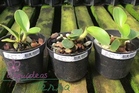 Cattleya nobilior tipo Rafael Wenzel X Cattleya nobilior tipo Campo Grande  - Orquídeas Terra