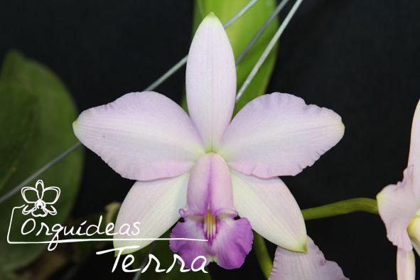 Cattleya violacea suave Urupá  - Orquídeas Terra