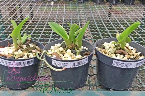 Cattleya walkeriana suave Nem Sempre X Cattleya walkeriana suave Orlando Mazzetto  - Orquídeas Terra