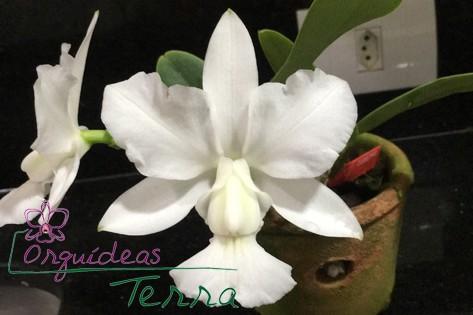 Cattleya walkeriana alba  - Orquídeas Terra