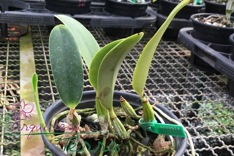 Cattleya walkeriana alba Inverno TE  - Orquídeas Terra