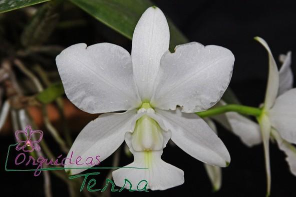 Cattleya walkeriana alba Rosângela  - Orquídeas Terra