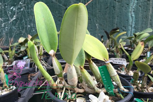 Cattleya walkeriana alba Sano  - Orquídeas Terra