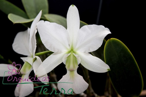 Cattleya walkeriana albescens Ana Luiza  - Orquídeas Terra