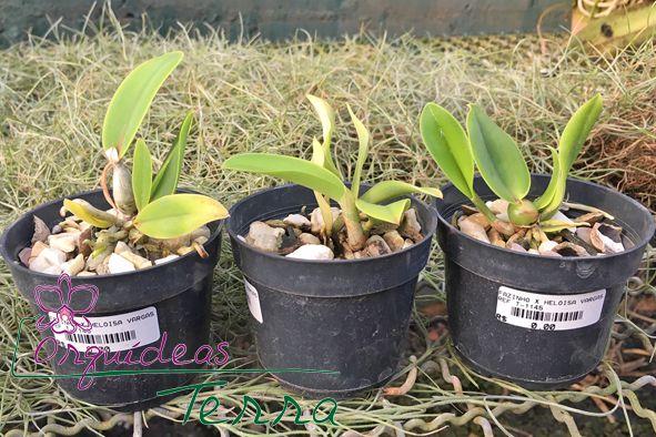 Cattleya walkeriana albescens Fazinho X Cattleya walkeriana albescens Heloísa Vargas  - Orquídeas Terra