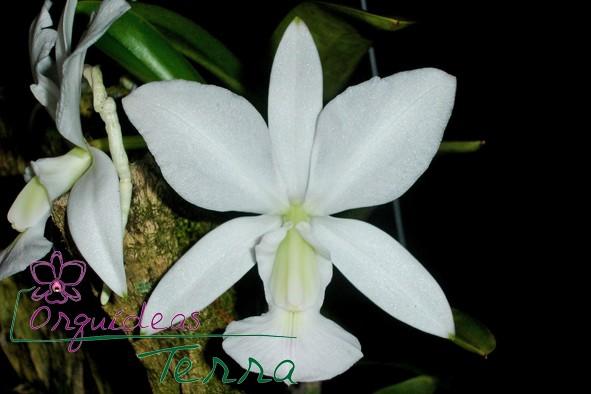 Cattleya walkeriana albescens Maria Amélia  - Orquídeas Terra