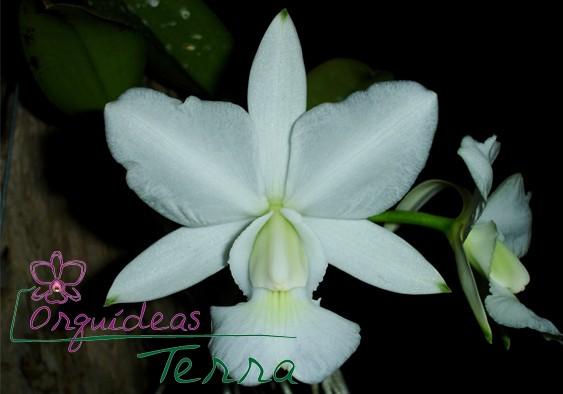 Cattleya walkeriana albescens Maria Rita  - Orquídeas Terra