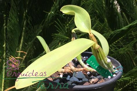 Cattleya walkeriana albescens Nomura  - Orquídeas Terra
