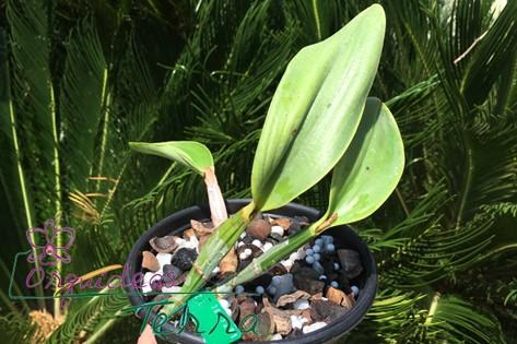 Cattleya walkeriana albescens Rachel Nazar  - Orquídeas Terra