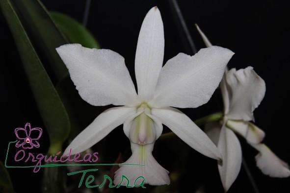 Cattleya walkeriana albescens Santana  - Orquídeas Terra