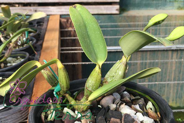 Cattleya walkeriana coerulea Adélia Bordini  - Orquídeas Terra