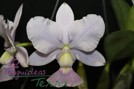 Cattleya walkeriana coerulea Azulinho TE  - Orquídeas Terra