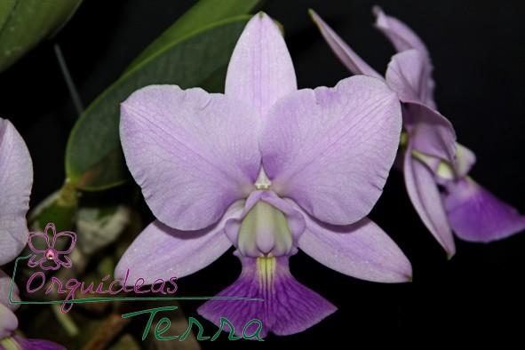 Cattleya walkeriana coerulea Cíntia Cavasini CVSN  - Orquídeas Terra