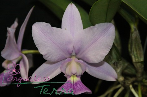 Cattleya walkeriana coerulea Deep Blue TE  - Orquídeas Terra