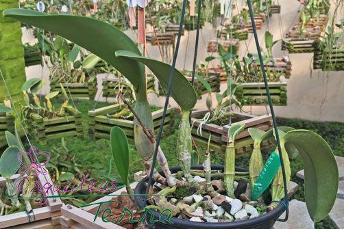 Cattleya walkeriana coerulea Domingos Cavasini CVSN  - Orquídeas Terra