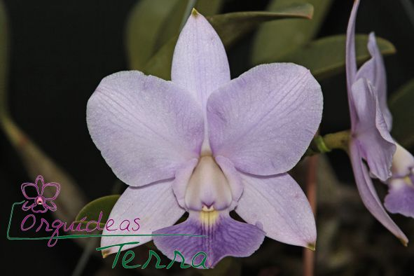 Cattleya walkeriana coerulea Júlia Cavasini CVSN  - Orquídeas Terra