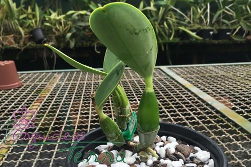 Cattleya walkeriana coerulea Marimbondo  - Orquídeas Terra