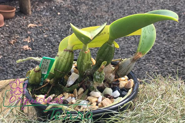 Cattleya walkeriana coerulea Nossa Senhora de Fátima TE  - Orquídeas Terra