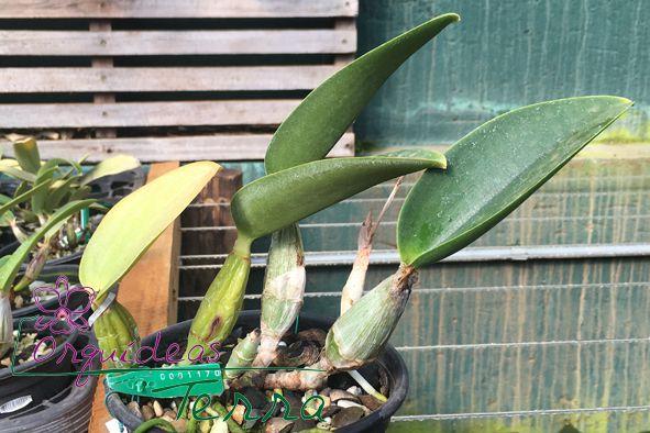 Cattleya walkeriana coerulea Riacho Azul CVSN  - Orquídeas Terra