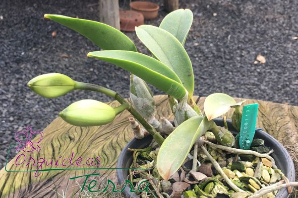 Cattleya walkeriana coerulea Topázio Azul DTO  - Orquídeas Terra