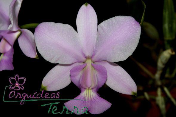Cattleya walkeriana concolor Sopro Divino  - Orquídeas Terra