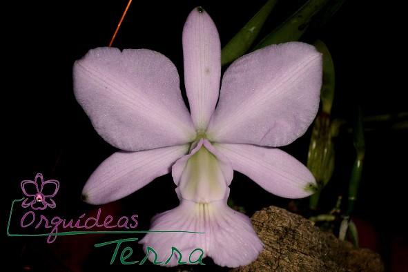 Cattleya walkeriana concolor Valtinho  - Orquídeas Terra