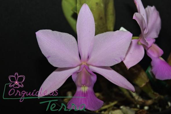 Cattleya walkeriana rosada Natália  - Orquídeas Terra