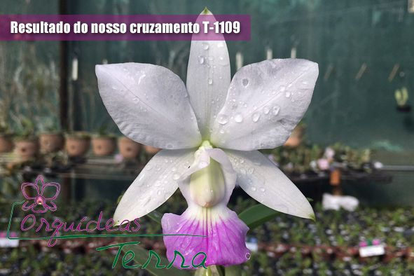 Cattleya walkeriana semi-alba Esperança X Cattleya walkeriana suave Marcela  - Orquídeas Terra